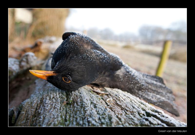 4415 frosty blackbird