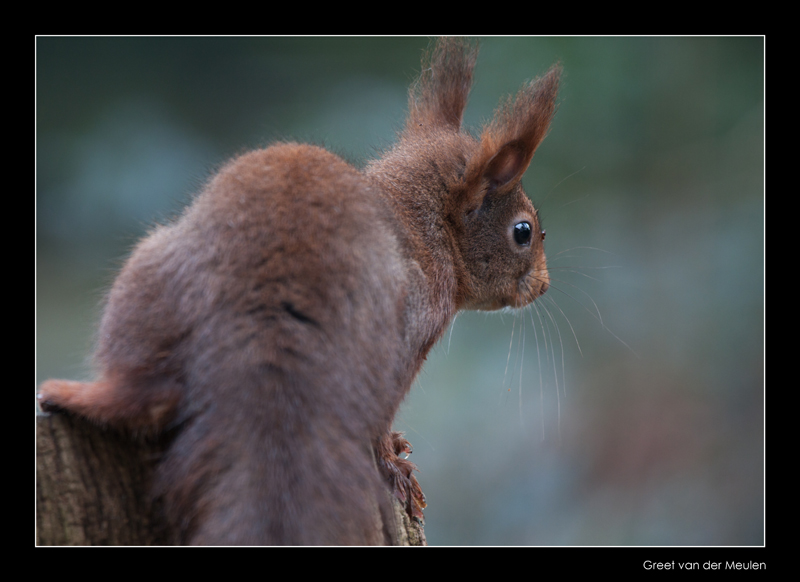 2365 red squirrel