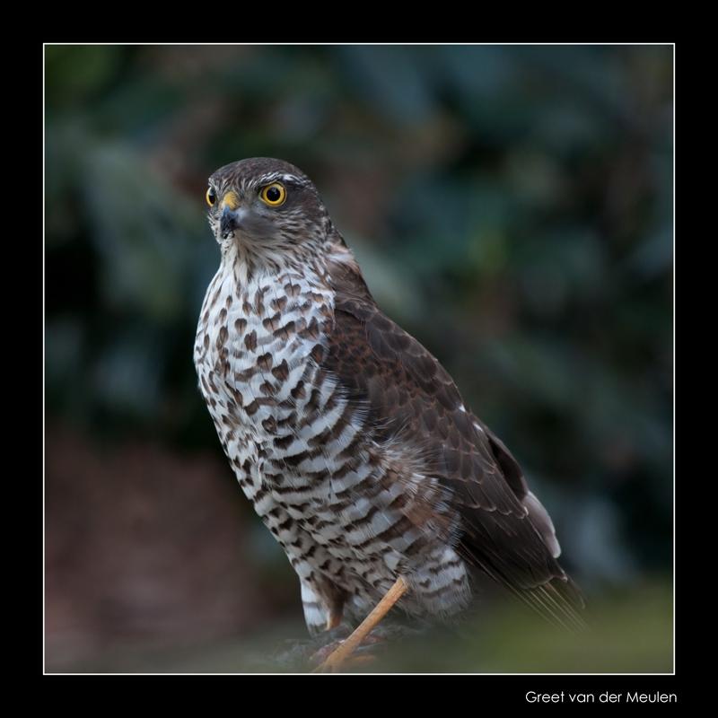 4346 sparrowhawk