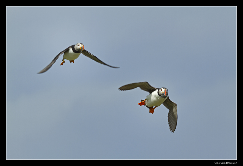 8009 flying puffins