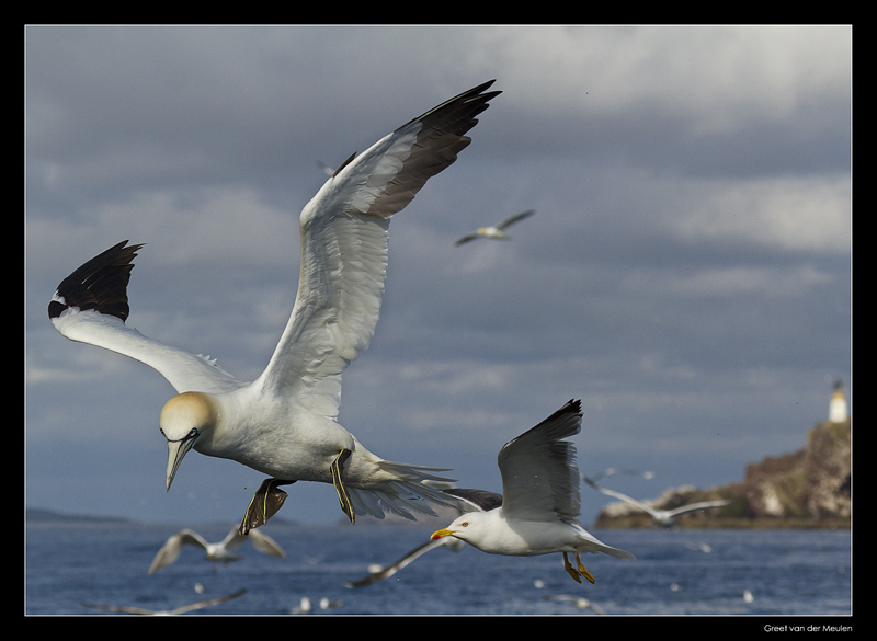 5212 gannet in front of Bass Rock