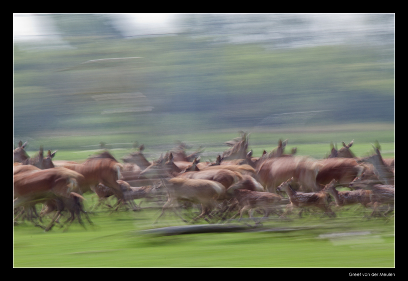 0935 red deer on the move