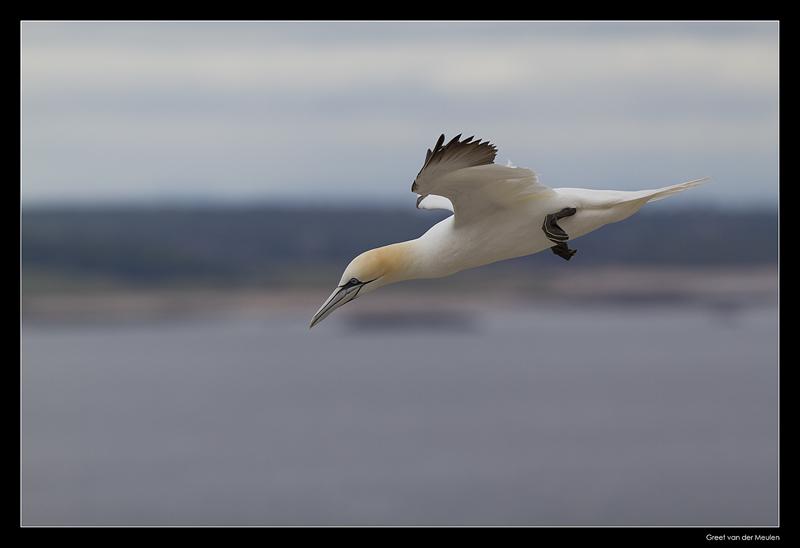5967 flying gannet