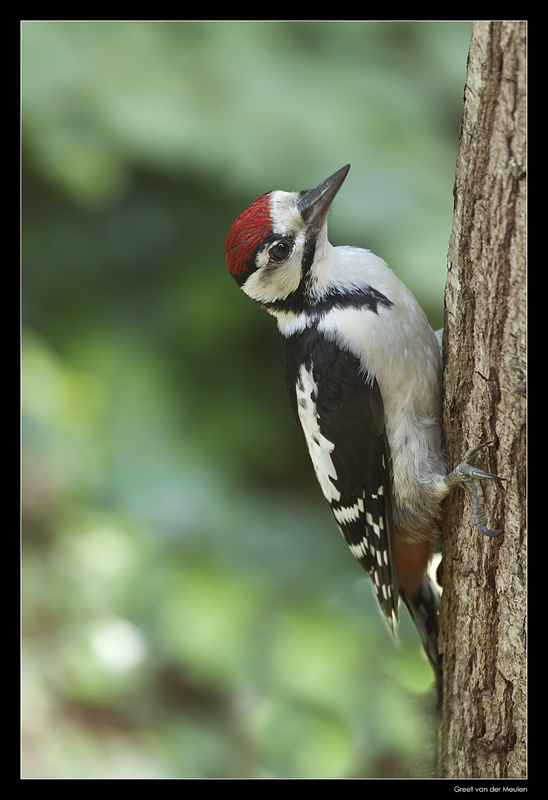 1897 great spotted woodpecker youngster