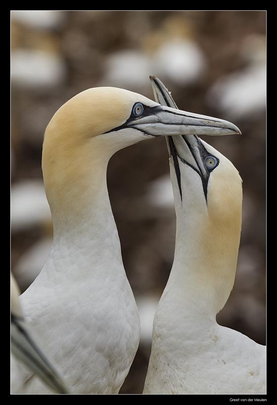 7294 gannets