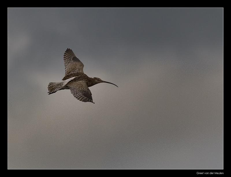 3145 curlew in flight