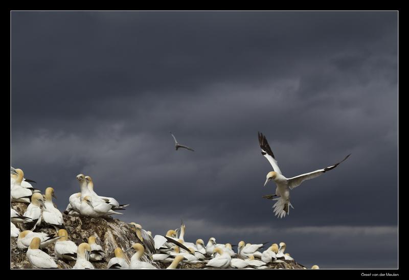 7619 landing gannet on Bass Rock