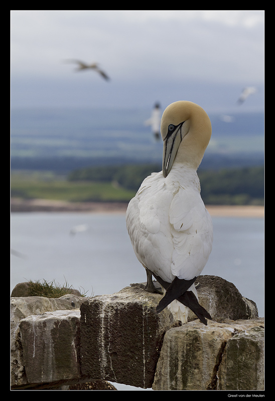 5688 brushing gannet on wall of chapel on Bass Rock