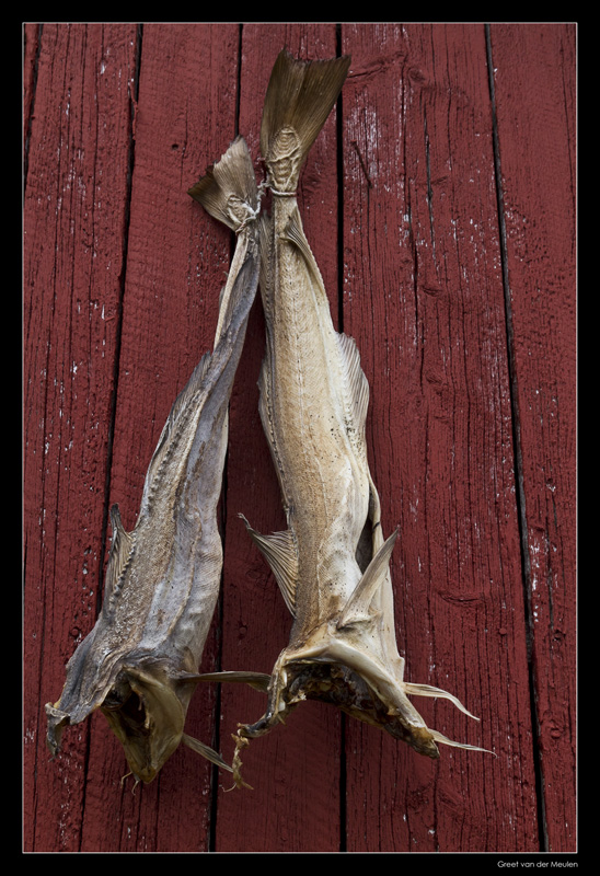 5581 dried fish Nusfjord Norway