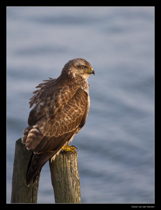 5116 buzzard