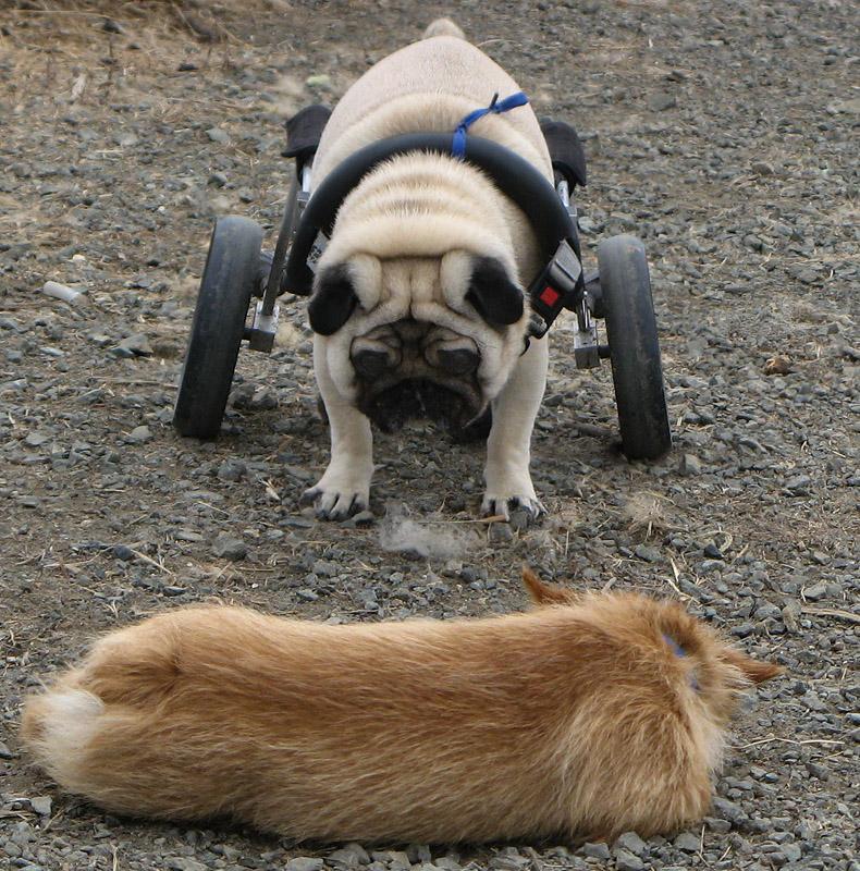 Wheels for hurt back-leg