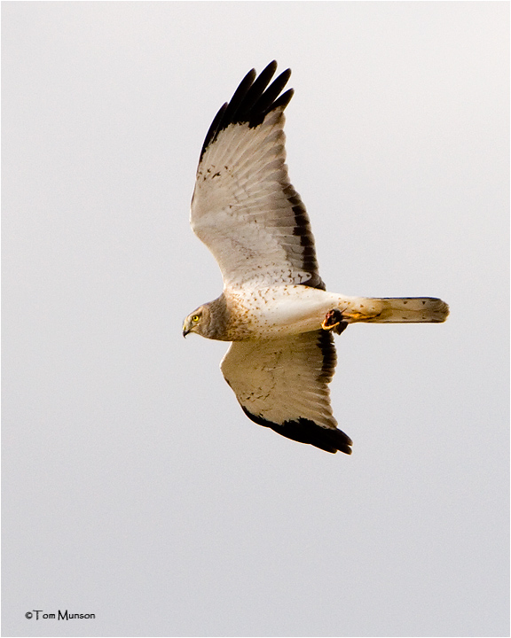 Northern Harrier  ( he has a rodent in his talons)