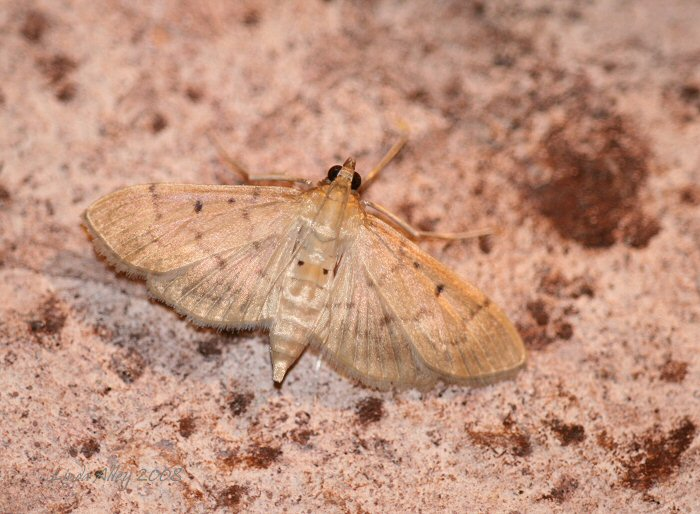 Herpetogramma bipunctalis - Two-spotted Herpetogramma Moth