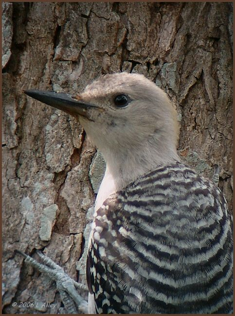 golden-fronted woodpecker juvenile