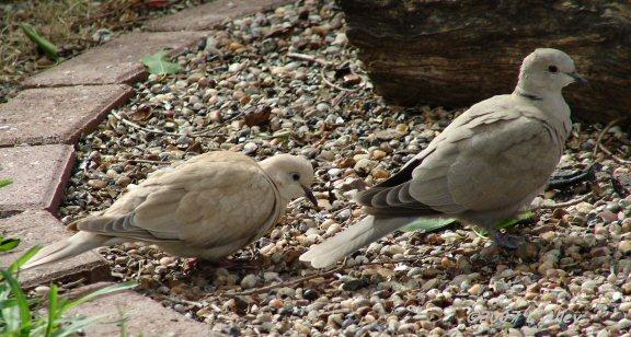 ringed turtle dove collared dove