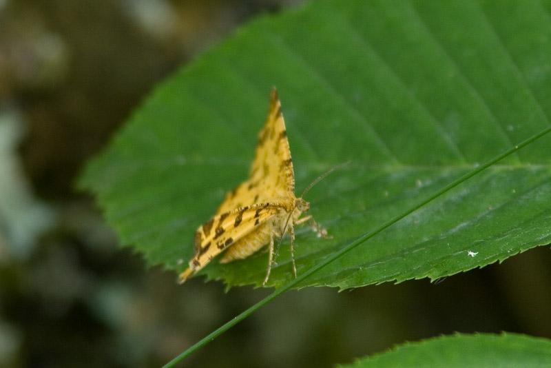 07620 Boterbloempje - Speckled Yellow - Pseudopanthera macularia