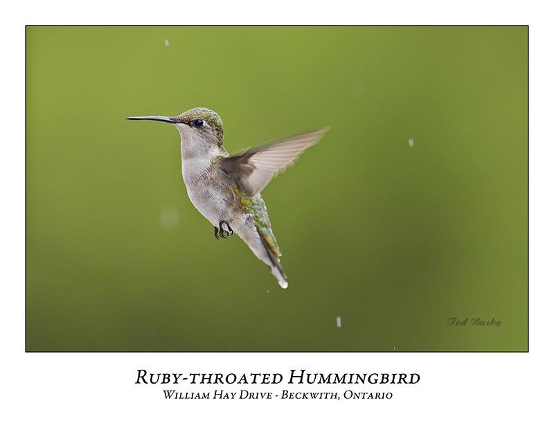 Ruby-throated Hummingbird-010