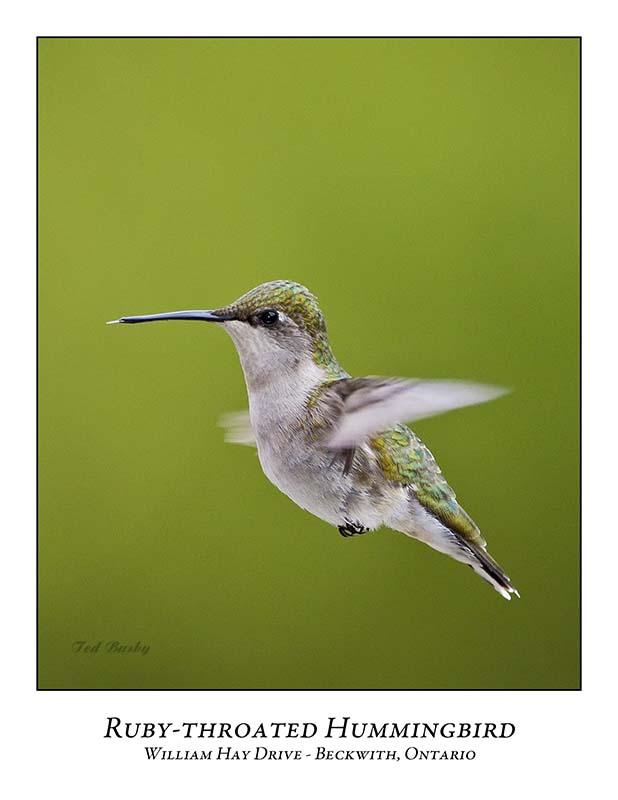 Ruby-throated Hummingbird-012