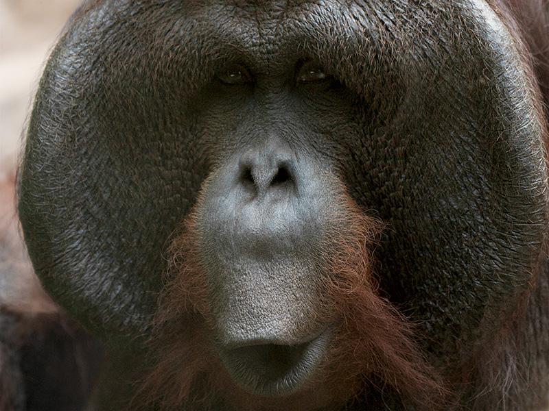 Orangutan Sings