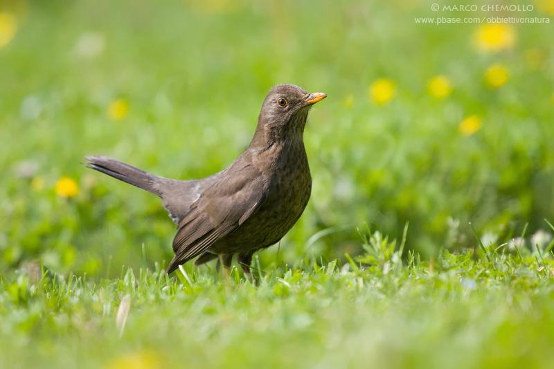 Blackbird - Merlo (Turdus merula)