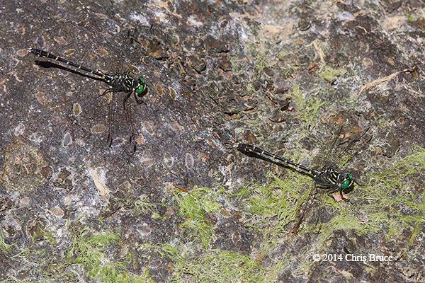 Least Clubtails (<em>Stylogomphus albistylus</em>)