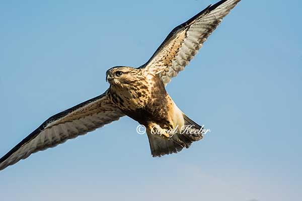 Rough Legged Hawk Taking Wing