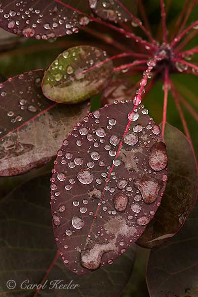 Raindrops on Smokebush