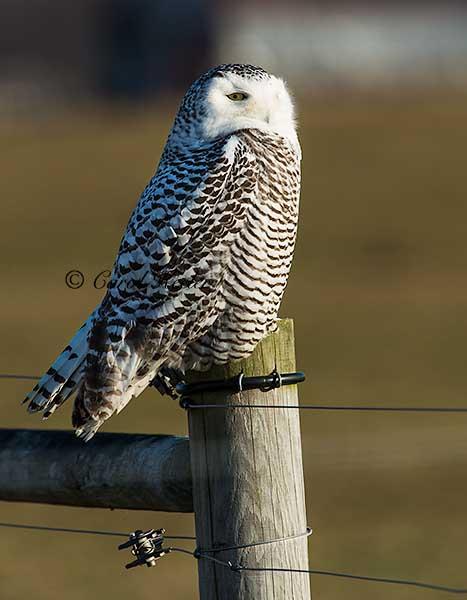 Snowy Owl, First Year Female
