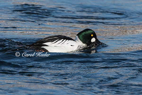 Male Goldeneye Foraging
