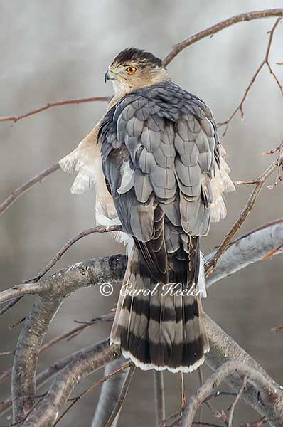 Coopers Hawk All Fluffed Up