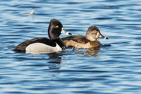 Ring Neck Duck Couple