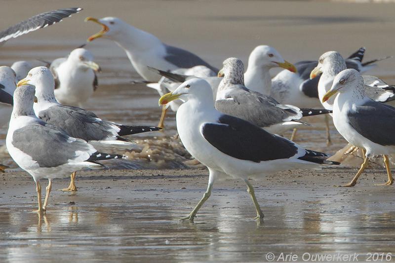 Kelpmeeuw - Kelp Gull - Larus dominicanus vetula