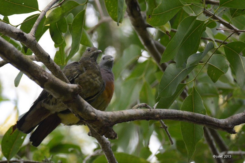 Colombar giouanne (Pink-necked Green Pigeon)