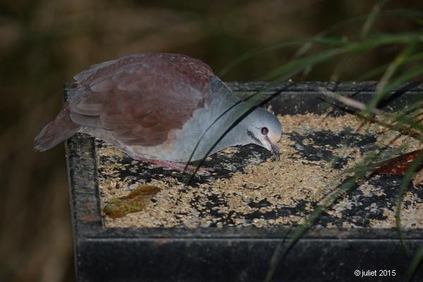 Colombe du Costa Rica (Buff-fronted quail-dove)