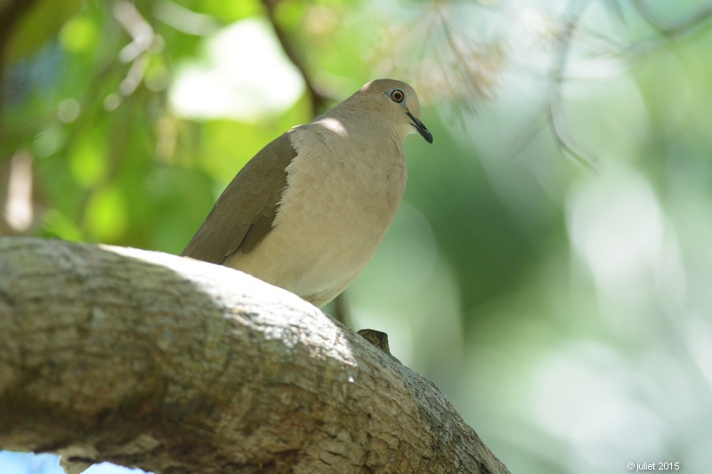 Colombe de Verreaux (White-tipped Dove)