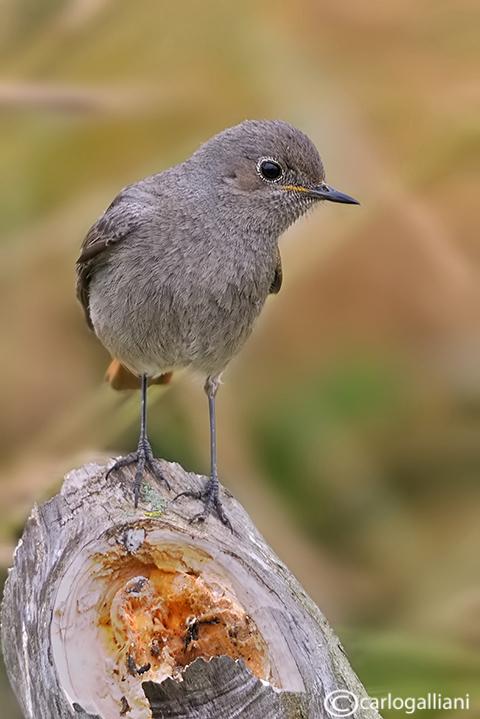 Codirosso spazzacamino-Black Redstart (Phoenicurus ochruros)