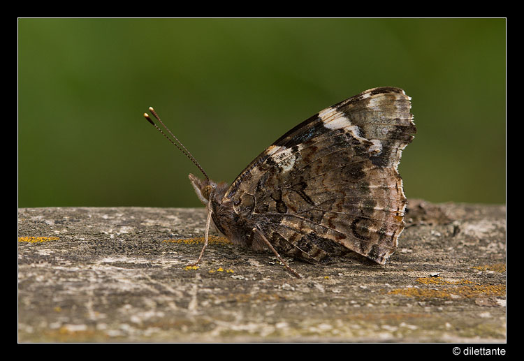 Red Admiral (uns)