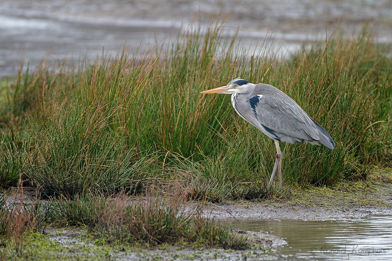 Grey Heron - Blauwe reiger