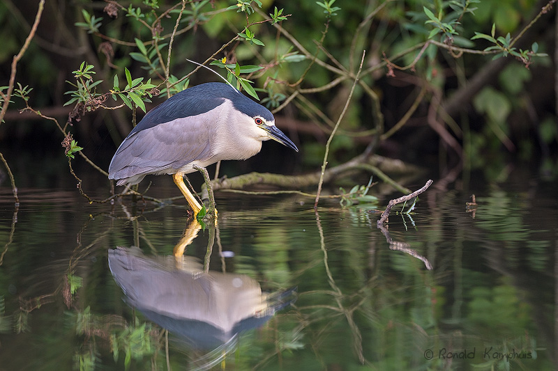 Black-Crowned Night-Heron - Kwak