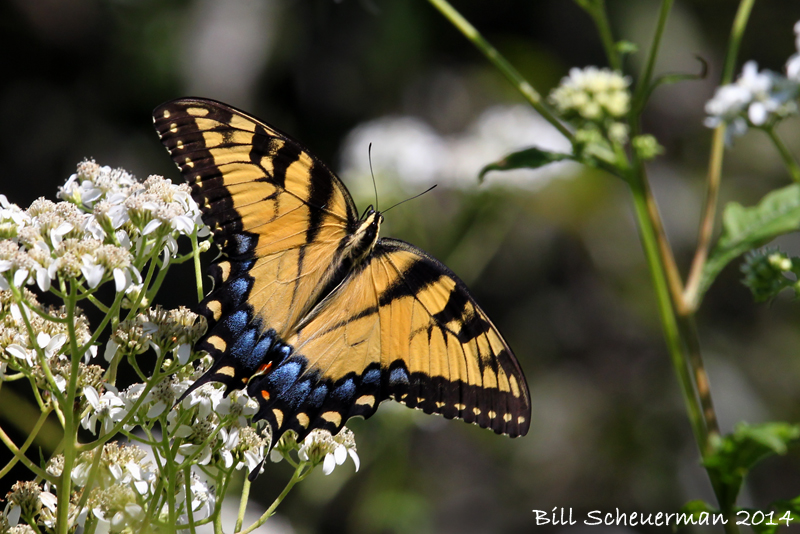 Eastern-Tiger Swallowtail