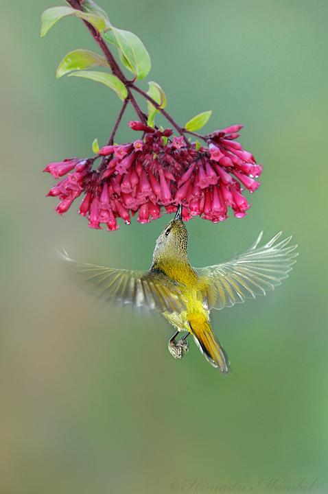 Fire-Tailed Sunbird 3