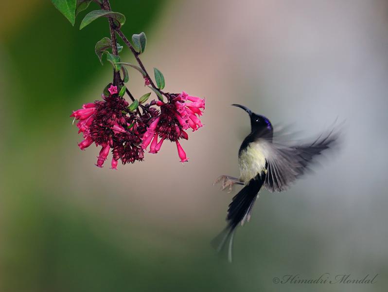 Black-Throated sunbird 4