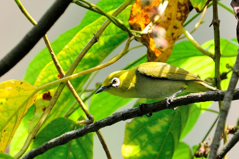 Oriental White-eye ( Zosterops palpebrosus )