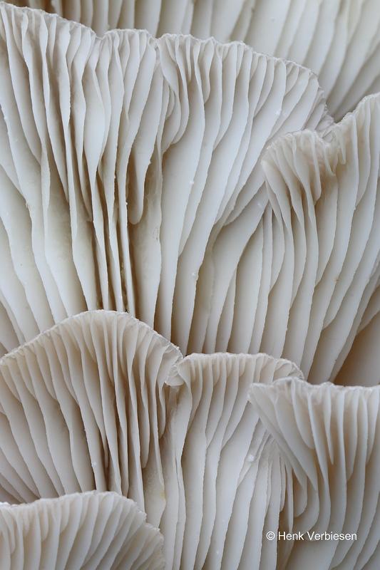 Pleurotus ostreatus - Gewone Oesterzwam 8.JPG