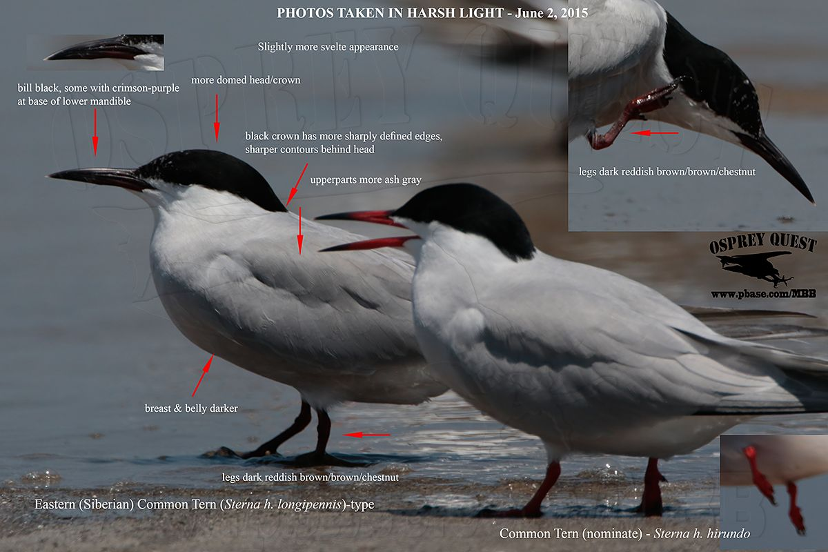 _M5A0276 Common Tern with longipennis characteristics.jpg