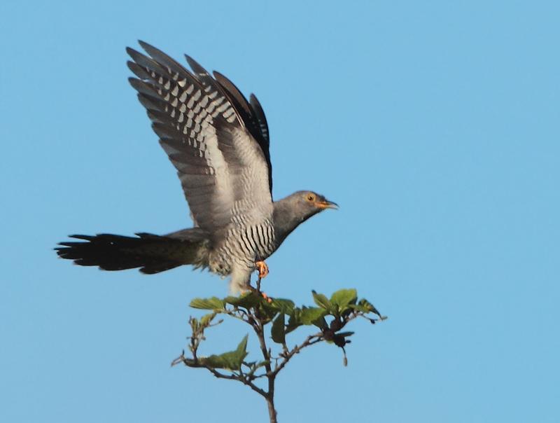 Eurasian Cuckoo - Cuculus canorus (Koekoek)