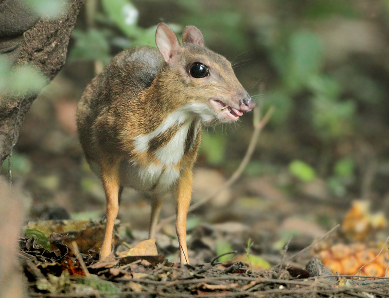 Lesser Mouse Deer - Tragulus kanchil