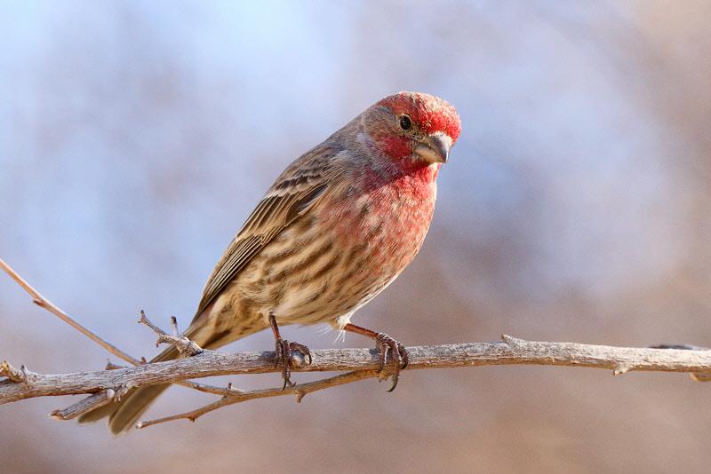 House Finch (Male) (3339)