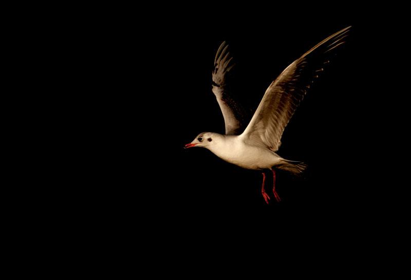 Black-headed-gull.jpg
