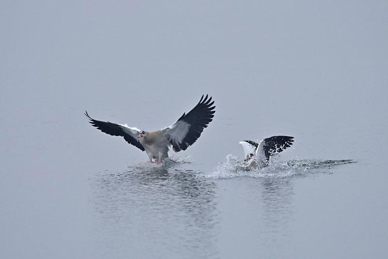 Nijlgans - Egyptian Goose (de Oelemars)